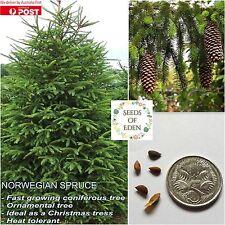 10 NORWEGIAN SPRUCE SEEDS( Picea Abies); Beautiful Christams tree