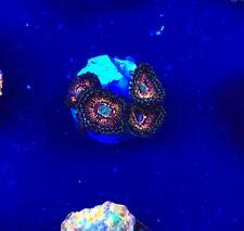 God of War Palythoa WYSIWYG Coral saltwater reef tank Reefkingdom Red green