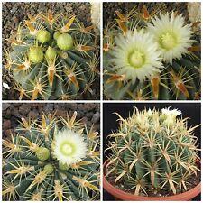 50 semi di Ferocactus latispinus var. flavispinus ,piante grasse,seed cactus