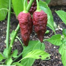 10+ Chocolate Bhutlah Pepper Seeds (organic brown superhot chili, chile)