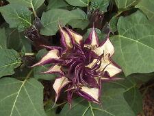 Datura Seeds - BLACK CURRENT SWIRL - Fragrant, Tropical, Brugmansia - 10 Seeds