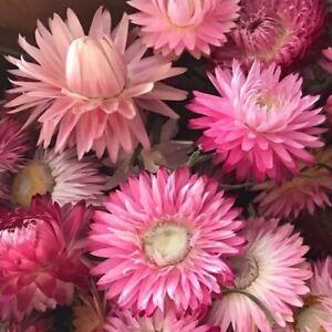 Helichrysum or Xerochrysum bracteatum 'Bright Rose' / Everlastings / 500 Seeds