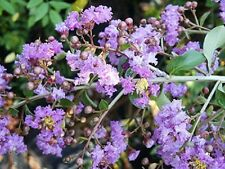 20 Semillas - LAGERSTROEMIA THORELII - Embrujo de la India - Tree Seeds Samen