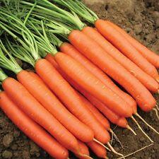 Semillas de hortalizas-Zanahoria temprano Nantes - 100 semillas más finos-liveseeds