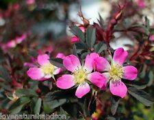 SHRUB ROSE ROSA GLAUCA Thornless Pink Flowers Red Stems Hardy Flowering 20 Seeds