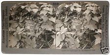 Keystone Stereoview Nightingale Bird on a Nest in ENGLAND 1910's Education Set