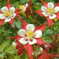 Columbine- Crimson Star- 50 Seeds - BOGO 50% off SALE
