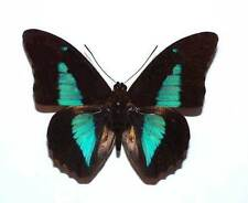 PREPONA LAERTES - unmounted butterfly