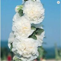 25Charles White Hollyhock Seeds Perennial Giant Flower Garden Plant Seed 460