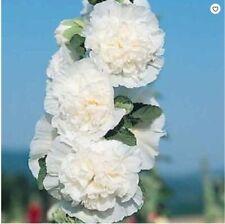25 Charles White Hollyhock Seeds Perennial Giant Flower Garden Plant Seed 460