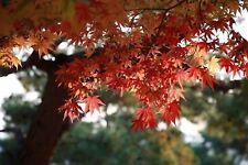 10 Graines d'érable du Japon - jardin arbre bonsaï japonais - methode Bio