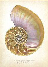 CHAMBERED NAUTILUS SEA SHELL INTERIOR original MEDIUM SIZE hand worked art print