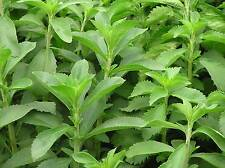 STEVIA sweetener natural MUY SWEET 500 Seeds Seeds