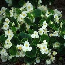 Begonia- Wax White- 50 Seeds- Bogo 50% off Sale
