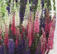 Organic Flower seeds Veronica spicata MIX. Perrennials from Ukraine.