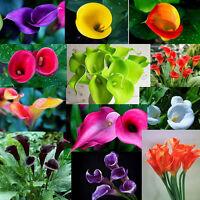 Lot 100PCS Colorful Calla Lily Flower Seeds Rare Home Garden Plants Bonsai Decor