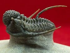 More details for amazing real fossil 'flying' trilobite cyphaspis sp prehistoric taxidermy ccc557