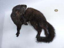 Taxidermy American Mink. Log no 636. Laying Down. Measures 22cm x 25cm. Mammal.