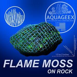 2X FLAME MOSS ON ROCK - AQUARIUM AQUATIC FRESHWATER LIVE PLANT  JAVA WOOD DRIFT