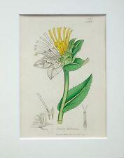 Elecampane Helenium  Sowerby 1800s Mounted Antique Botanical Print Hand Coloured