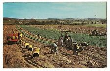 A POTATO HARVEST AROOSTOOK COUNTY World's Capitol  MAINE ME Postcard 1961