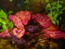 tiger lotus red demaré LOTx2 nymphea  lotus rouge tigré NENUPHAR aquarium DISCUS
