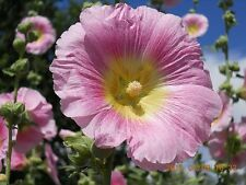 30 LIGHT PINK/YELLOW Hollyhock Seeds