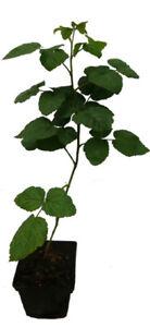 Taybeere Pflanze - DORNENLOS - ' Buckingham Tayberry ' Aroma Himbeere Brombeere