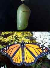 New Listingone Live monarch chrysalis (pupa) - raise your own butterfly!