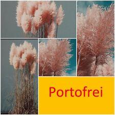 300 cm xxl Pampasgras  3 Pflanzen Amerikanisches  Ziergras in Rosa Top Garten
