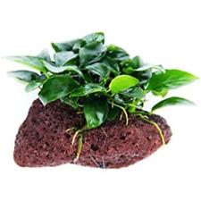 Anubias Nana Petite on lava rock Live Aquarium Plants Buy 2 Get 1 Free