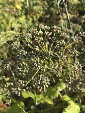 3 Dry Dill Seed Heads For Flavouring Jams / Preserves