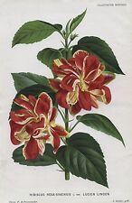 1882 Hibiscus rosa-sinensis Original Antiguo botánico impresión Linden