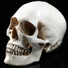 Resin Human Head Skull Model Teaching Statue White Fine Arts Decor 1:1 Life size