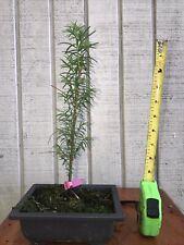 Dawn Redwood, Starter - Pre Bonsai Tree, Metasequoia glyptostroboides
