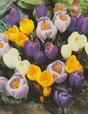 100/500 Großblumige Krokusse gemischt Krokus Crocus Blumenzwiebeln Lieferbar 9.9