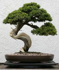 Gemeiner Wacholder 30 Samen Juniperus Communis Heide