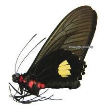 Unmounted Butterfly/Papilionidae - Parides pizarro pizarro, male, Peru