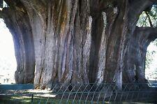 9 Semillas Cipres Mejicano Taxodium Mucronatum - Raras Árbol Jardín - Garden