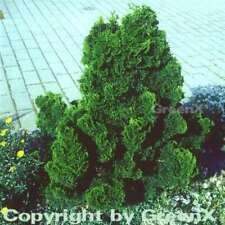 Chamaecyparis pisifera Filo GIALLO cipresso SUNGOLD 25-30cm