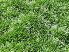 Mondo Grass 250 Bare Root Divisions FREE SHIPPING