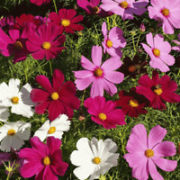 40 SEEDS Dwarf Mixed Cosmos Garden Flower Seeds Multi Colour -Easy to Grow