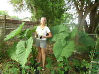 Giant Elephant Ear! Every size!  Grows up to 9ft! Bare Corm Plant Live Zellajake