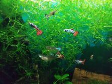 1 pair (1 male &  1 female) Nebula Steel Guppies - for Shrimp tank, koi pond