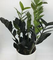 Zamioculcas zamiifolia Raven House plant in 14cm pot, approx. 45-50cm RARE