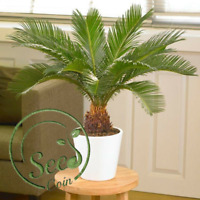 Seeds Cycads Tree Bonsai Home Garden Plants  Perennial Trees 1 Pcs