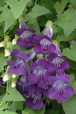 Flower - Asarina scandens Mystic Series Violet White - 100 Seeds - Large Pack