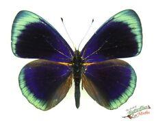 real butterfly Orange Based Banner Asterope degandii degandii SETx1 specimen TS
