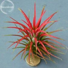 5 Seeds Tillandsia Ionantha Guatamala. Professional Pack Heirloom Rare Air Plant