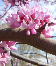 ONE Red Bud Seedling USDA Zone 4 to 9 Approx. 2 to 4+ Yrs. Old Bare root